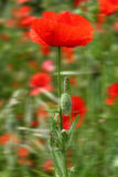 Red poppies. Close up Royalty Free Stock Photo