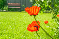 Red poppies close-up in spring garden, backlit Stock Images