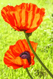 Red poppies close-up on the spring lawn, backlit Royalty Free Stock Images