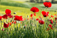 Red poppies. Closeup of red poppies in a poppy field in Tuscany Stock Image