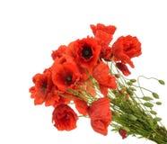 Free Red Poppies Common Names: Common Poppy, Corn Poppy, Corn Rose, Stock Photography - 81997282