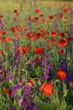 Red poppies and Consolida hispanica Stock Images