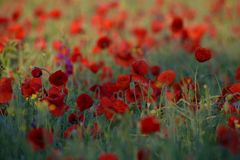 Red poppies and Consolida hispanica Royalty Free Stock Photography