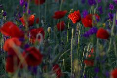 Red poppies and Consolida hispanica Royalty Free Stock Photos
