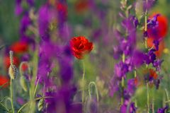 Red poppies and Consolida hispanica Stock Photography