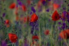 Red poppies and Consolida hispanica Royalty Free Stock Photo