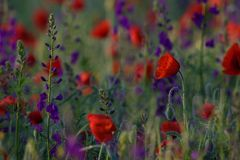 Red poppies and Consolida hispanica Royalty Free Stock Images