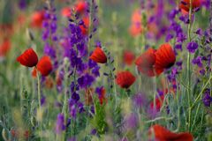 Red poppies and Consolida hispanica Stock Photo