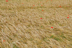 Red poppies in contrast in the field of yellow wheat spikes Stock Image