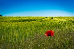 Red poppies in a cornfield in the sunshine royalty free stock photography