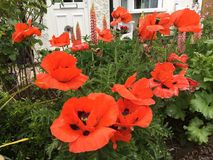 Red poppies in a cottage garden. In Gloucestershire 2017 Stock Photo