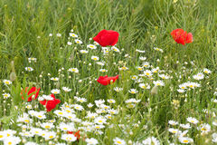 Red poppies with daisies Stock Images
