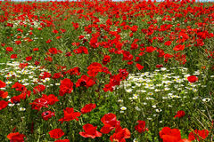 Red poppies and daisies field Royalty Free Stock Photos