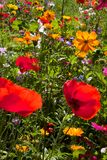 Red poppies and daisies in field of wild flowers. Field of summer wild flowers inclding daisies and red poppies, very colourful, yellow, green, blue, red Royalty Free Stock Images