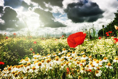Red poppies and daisies on summer field Stock Photo