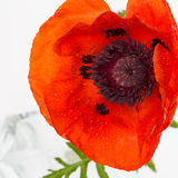 Red poppies with drops of water Royalty Free Stock Photo