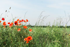 Red Poppies at the edge of a field Stock Image