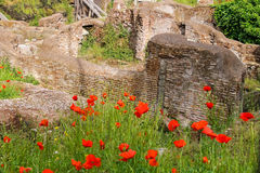 Red poppies on excavations in the historic part of Rome, Italy Royalty Free Stock Images