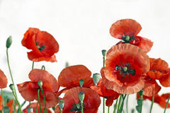 Red poppies family Royalty Free Stock Photos