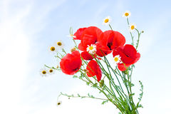 Red poppies on a field Royalty Free Stock Photo