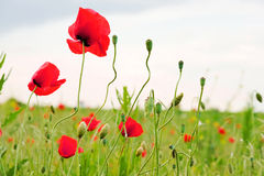 Red poppies on a field Stock Image