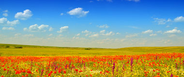 Red poppies field. Plain summer landscape with wild red poppies Royalty Free Stock Photos
