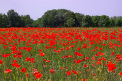 Red poppies field. Many red poppies in summer corn field Royalty Free Stock Photography