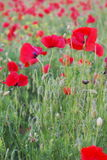 Red poppies in field Stock Photo