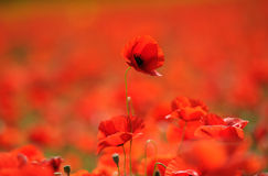 Red poppies in the field. Provence, France stock photos