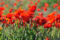 Red poppies on a field Stock Images