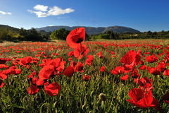 Red poppies on a field. In spring as background Royalty Free Stock Photography