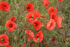 Red Poppies. In a field Royalty Free Stock Photo