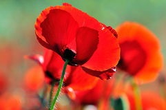 Red poppies on field Stock Image