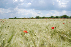 Red poppies field Royalty Free Stock Photography