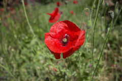 Red poppies in field. Red poppies in the field Royalty Free Stock Photography