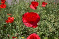 Red poppies in field Royalty Free Stock Photo