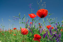 Red poppies on a field against blue sky Stock Photo
