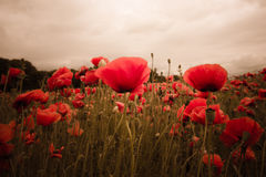 Red poppies in the field on aurora dawn Stock Photography