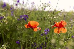 Red poppies in a field on a background of green grass on a sunny day. Cropped shot, horizontal, close-up. Concept of beauty of nature royalty free stock image