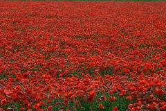 Red poppies field Royalty Free Stock Photo