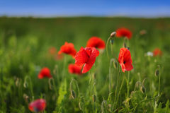 Red poppies in the field. Blue sky Stock Photography