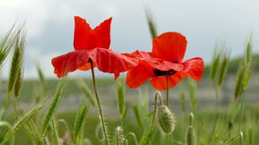 Red Poppies in the Field stock video