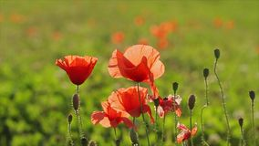 Red poppies on the field stock video