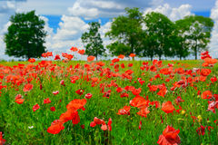 Red poppies on field Stock Photography