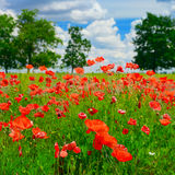 Red poppies on field Royalty Free Stock Photo
