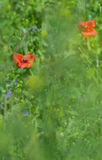 Red poppies in the field Stock Photography