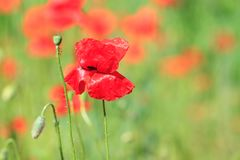 Red poppies in the field Royalty Free Stock Image