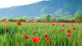 Red poppies field with mountains in background Royalty Free Stock Photo