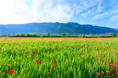 Red poppies field with mountains in background Royalty Free Stock Photography