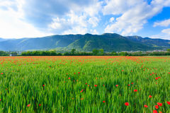 Red poppies field with mountains in background Stock Photos